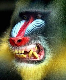 babbuini sedere rosso mandrillo l uomo scimmia paperblog