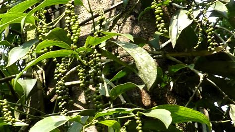 black pepper plant piper nigrum spice