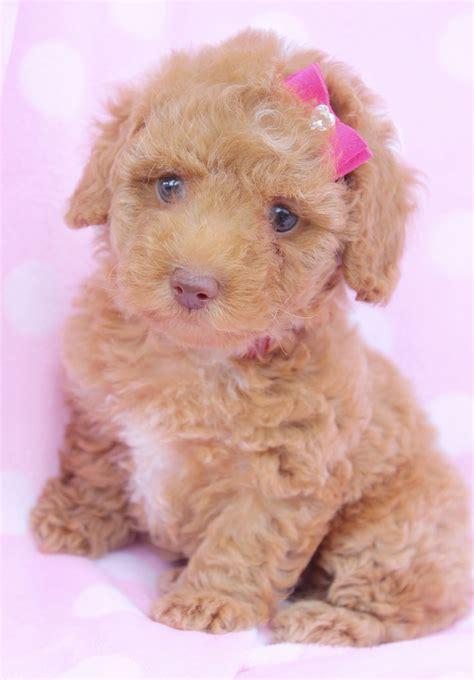 poodle puppy for sale poodle puppy for sale in south florida animal pudel spielzeug und