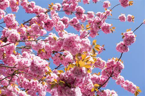 cherry blossom tree b q os segredos do florescimento da a cerejeira do 227 o veja