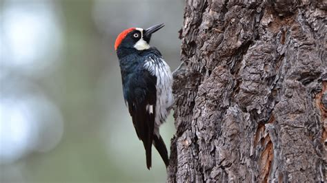 woodpeckers show signs of possible brain damage new study
