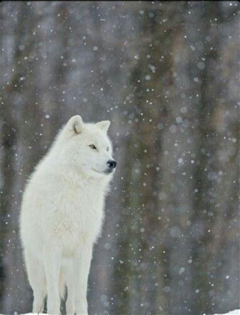 imagenes lobo blanco lobo blanco lobos blancos pinterest