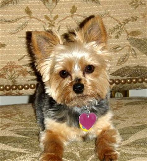 rescued yorkies for adoption yorkie rescue frankie franks
