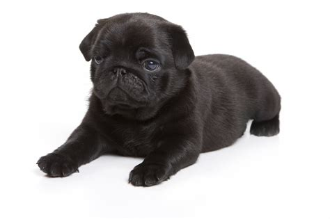 black and pug black pug photograph black pug on white background
