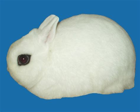 Nd Hotot Nd rabbit photos