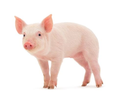 pig the the meanings of dreams connected to domestic pig health want care