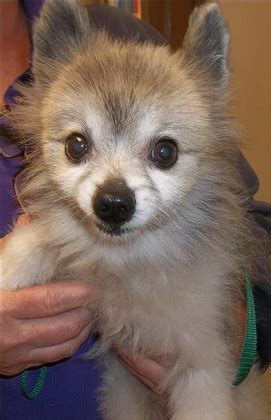 pomeranian adoption san diego reasons to adopt a senior thatmutt a