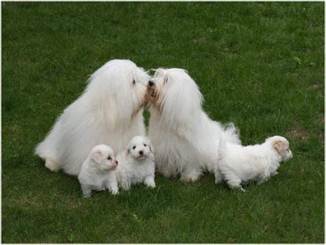 coton de tulear puppies price coton de tulear facts pictures temperament price puppies breeders animals adda