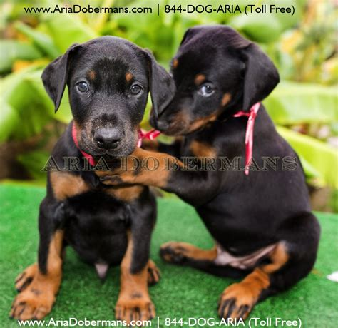doberman puppies for sale in houston puppies for sale photos dobermans
