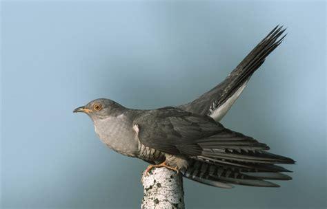 birdsong click   quick guide