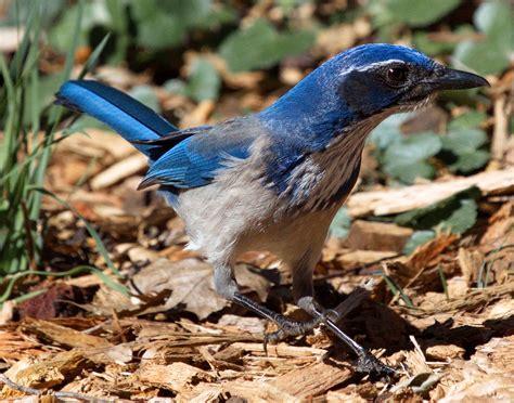 california scrub jay san diego bird spot