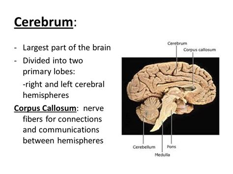 the largest section of the brain is the the central nervous system ppt video online download