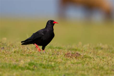 choughs birds on the edgebirds on the edge