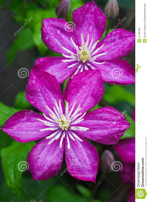 Architecture Design Plans by Japanese Clematis Flower Stock Photo Image 47168733