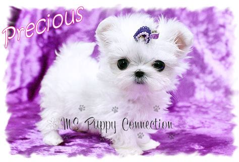 yorkie puppies for sale in mississippi teacup pomeranian ms puppy connection picture breeds picture