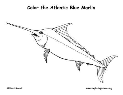 marlin fish coloring pages blue marlin fish coloring pages