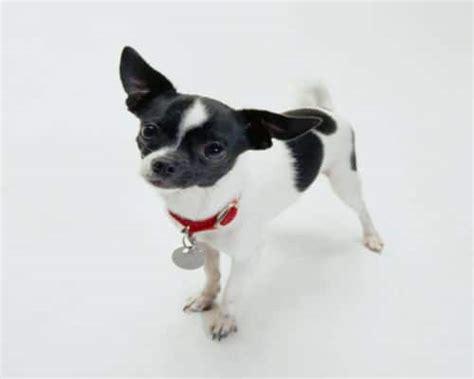 black and white chihuahua puppies black and white chiwawa puppies www pixshark
