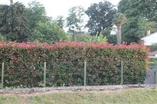 des arbustes de haie 224 croissance rapide et a feuillage