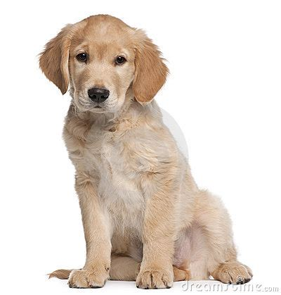 2 month golden retriever golden retriever puppy 2 months sitting stock photography image 17001032