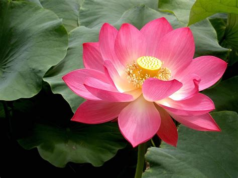 lotus flower pink lotus flowers flower hd wallpapers images