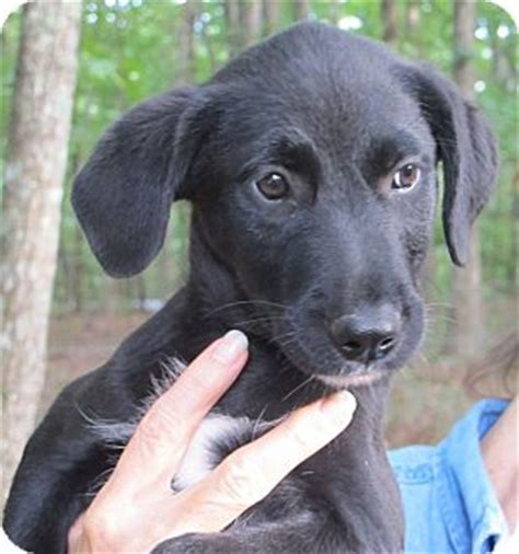 golden retriever puppies hagerstown md hagerstown md labrador retriever golden retriever mix meet fruit loops a puppy for