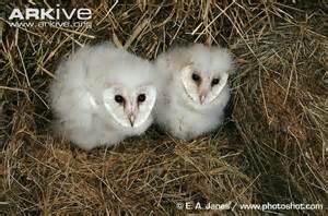 Size Of A Barn Owl Barn Owl Jpg 650 215 431 Barn Owlet Clutches