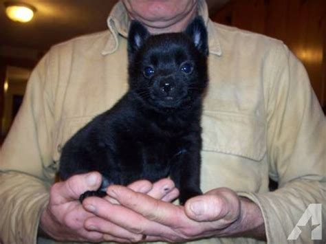 schipperke puppy for sale schipperke puppies for sale for sale in prattsburgh new york classified
