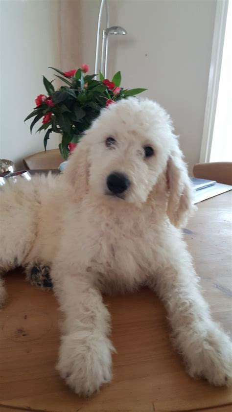goldendoodle puppy uk f1b goldendoodle puppies lowestoft suffolk pets4homes