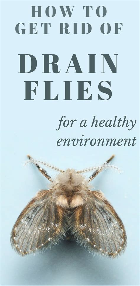 How To Get Rid Of Flies In The House by How To Get Rid Of Drain Flies For A Healthy Environment
