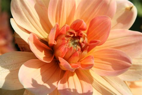 dahlia yvonne dahlia collection stekplek