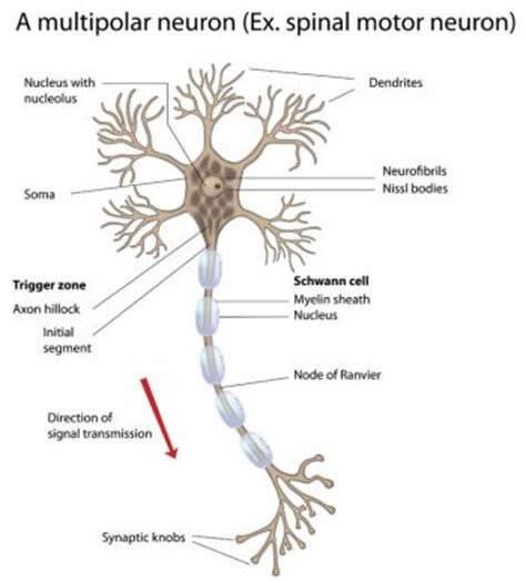 motor neurom motor neuron disease lateral sclerosis anterior horn