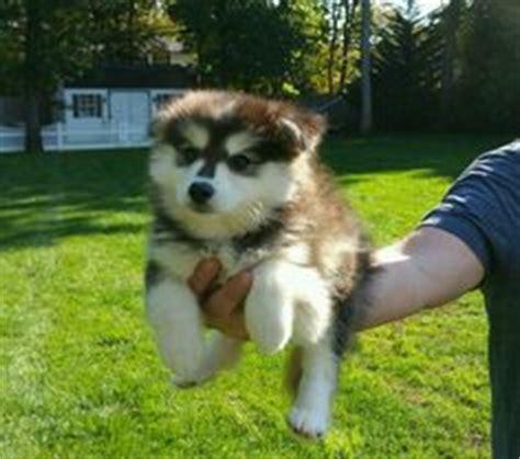 pomsky puppies for sale ny lush pomsky puppies review wisconsin pomsky breeder pomsky breeders