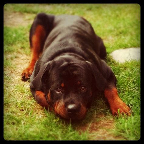 how can a rottweiler bite 21 best images about rottweilers on adoption for and shelters