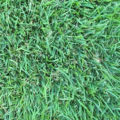 blue couch turf brisbane tropika blue turfman brisbane supply quality turf