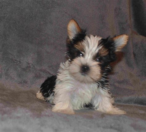 parti color yorkie parti yorkies yorkie puppies yorkie puppy yorkies for sale parti yorkie