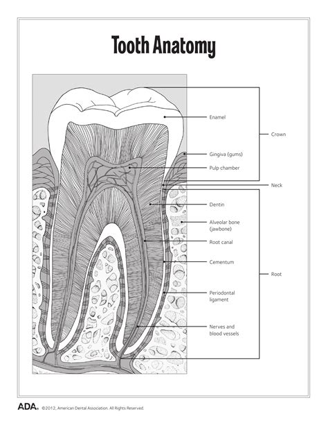 dental anatomy coloring book free 11 dental health activity sheets health made easy