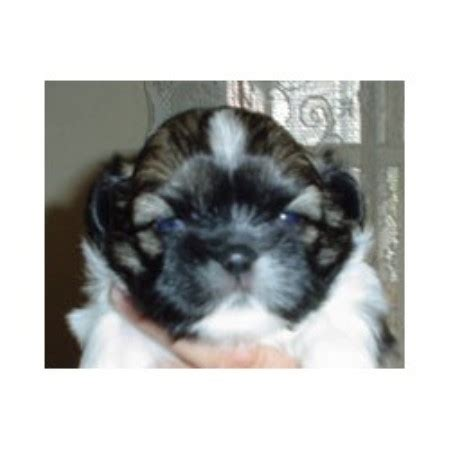 shih tzu puppies for sale in pittsburgh pa shih tzu puppies for adoption in pa