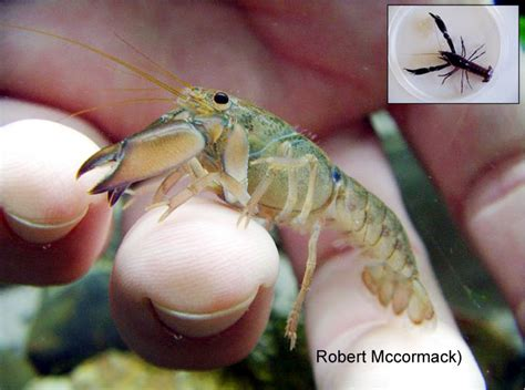 Bibit Udang Lobster Air Tawar spesies baru lobster air tawar bebeja