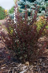 common ninebark carolina gardener hot plants