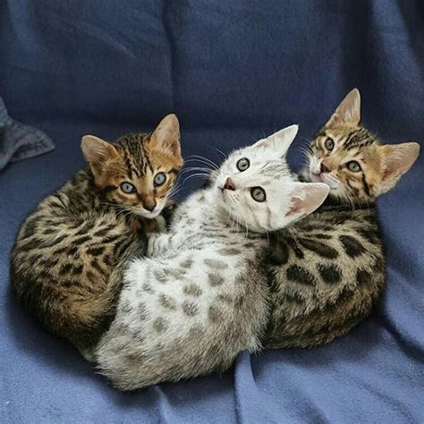 white bengal cat kittens 13 smartest cat breed in the world bengal kitten bengal