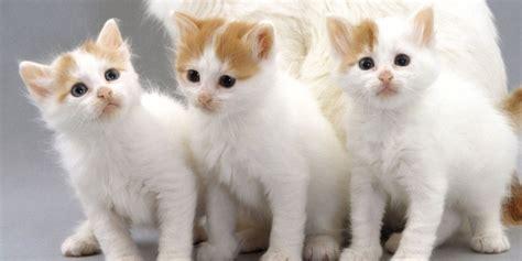 Vans Kitten turkish kitten www pixshark images galleries