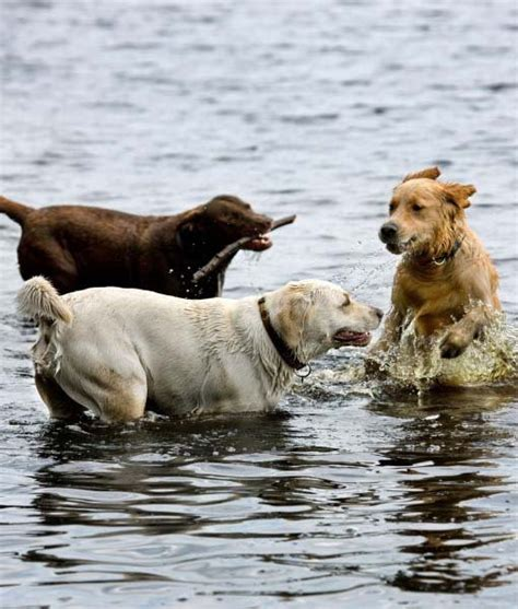 dogs that like water 10 breeds that water
