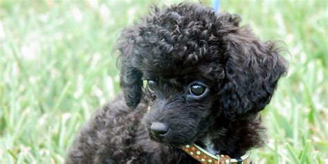 mini poodle info poodle www pixshark images galleries with