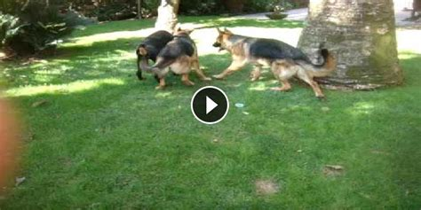 kangal vs rottweiler real fight german shepherd vs rottweiler fight www pixshark images galleries with a bite