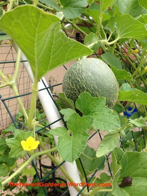 cantaloupe   trellis growing cantaloupe garden