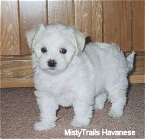 mistytrails havanese breeds poodle doggie adorers care2
