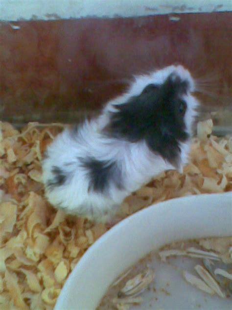 Hamster Syrian Hitam petshop hamster
