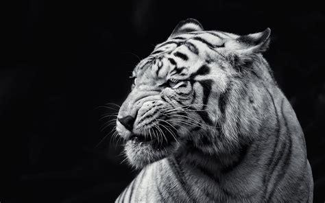 wallpaper black tiger black and white tiger jpg image jpeg 2560x1600 pixels