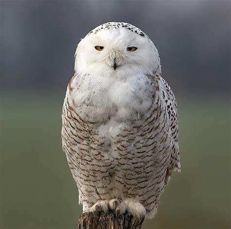 cori connors 40 snowy owl