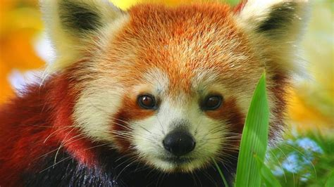 red panda hd wallpapers find  latest red panda hd